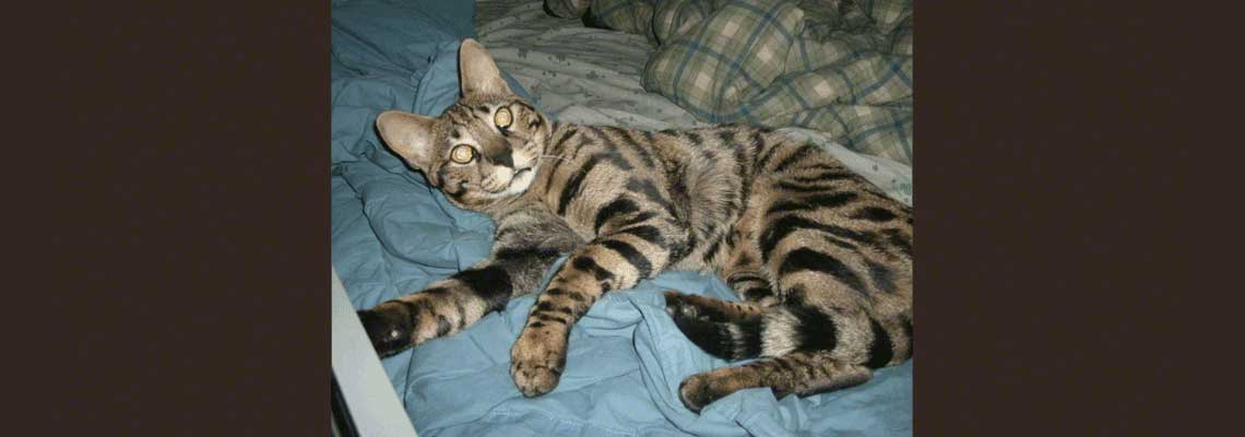 Adopt a Savannah Cat