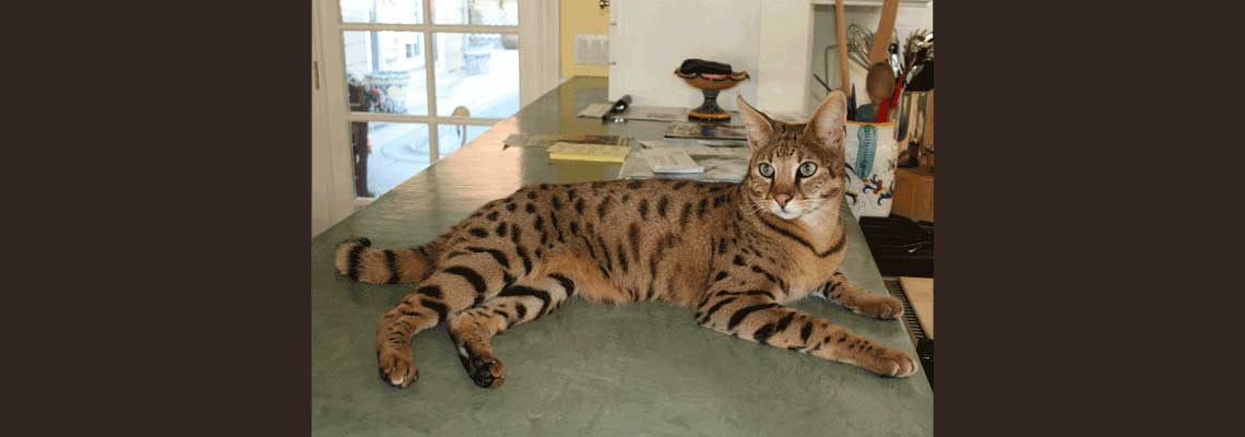 Foster a Savannah Cat
