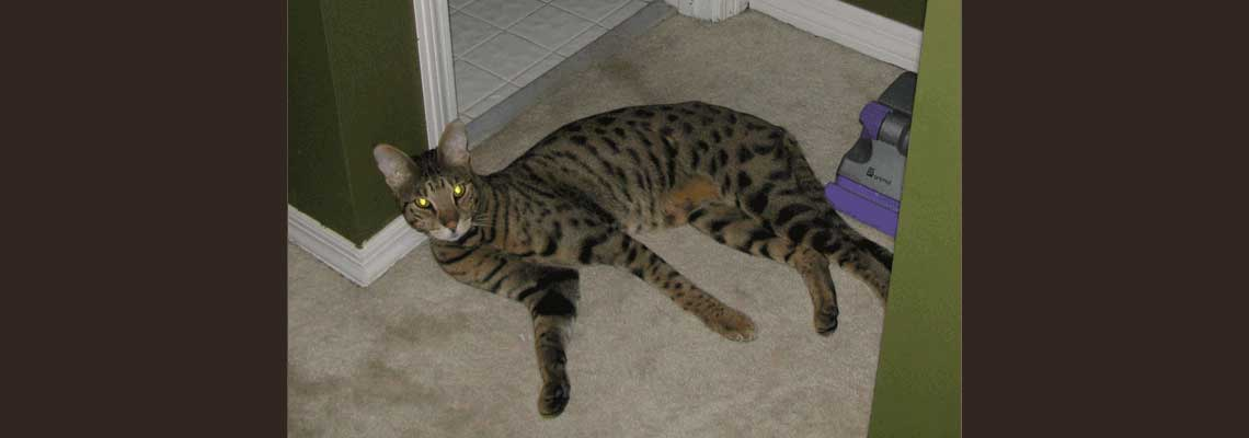 Savannah Cat Rescue — Caring for the Savannah Cat Breed