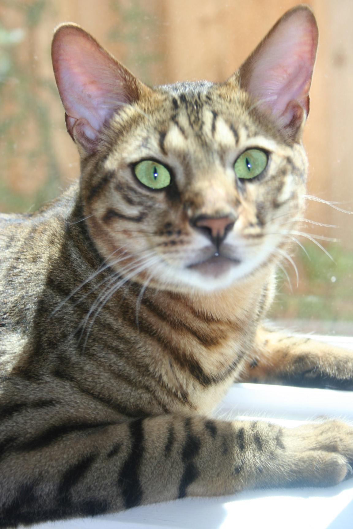 Foster a Savannah Cat Savannah Cat Fosters