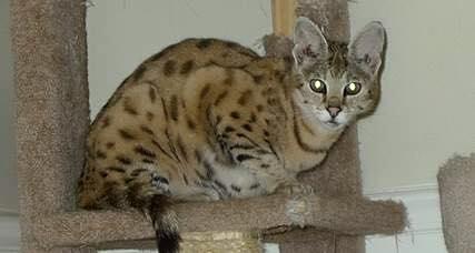 F1 Savannah Cat Ming - ADOPTED